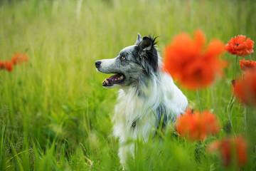 Border collie dog in a poppy field