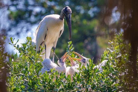Mama Wood Stork Feeding Her Three Nesting Chicks