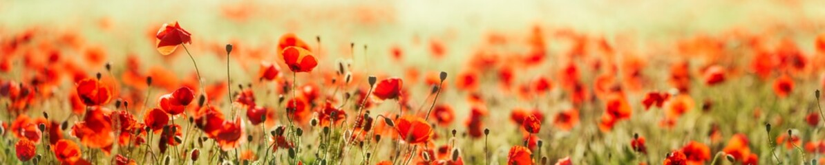 Acrylic Prints Poppy Panorama of Red Poppy Field, selective focus