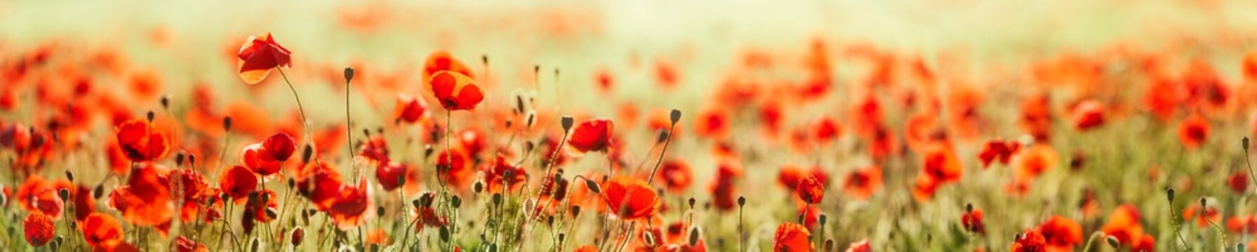 Panorama of  Red Poppy Field, selective focus