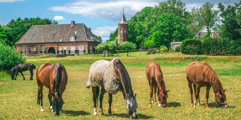 A group of horses eating grass in a Dutch meadow in front of the Dutch traditional village the Ooij in Gelderland, Netherlands