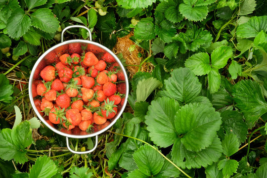 A colander full of bright red strawberries in a patch of green strawberry plants