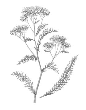Yarrow Pencil Illustration Isolated on White