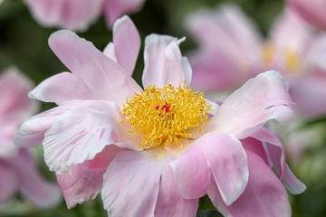 Delicate Pink Peony in the summer, closeup