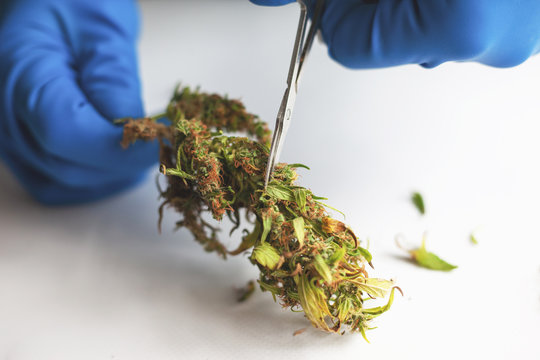 trimming and manicuring buds cannabis.cutting marijuana leaves with scissors in medical gloves on white background