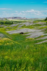 Lone Buffalo grazing in the Badlands of South Dakota, vertical