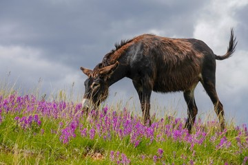 Brown Wild Burro grazing in the grass surrounded by lavender wild flowers in South Dakota