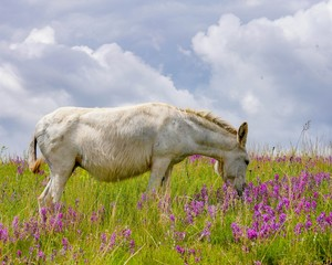 White Wild Burro grazing the tall green grass surrounded by pink wild flowers
