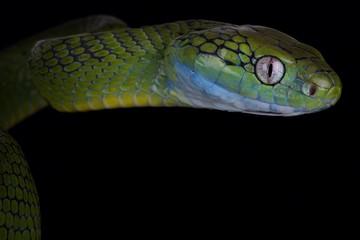 Wall Mural - Green cat snake (Boiga cyanea)