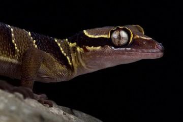 Wall Mural - Malayan forest gecko (Cyrtodactylus pulchellus)