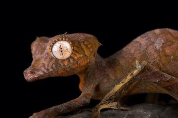 Wall Mural - Spearpoint leaf-tailed gecko (Uroplatus ebenaui)