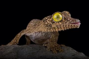 Wall Mural - Henkel's leaf-tailed gecko (Uroplatus henkeli)
