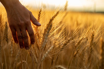 Wheat field.Female hand stroking touches of ripe ears of wheat.Rich harvest Concept. Beautiful Nature Sunset Landscape.Sunny day in the countryside. Wall mural