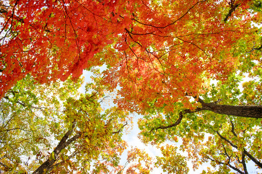 Bright colored red, yellow and green oak and maple leaves on trees in the autumn forest. Bottom view of the tops of trees.