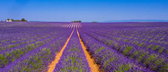 Türaufkleber Lavendel champ de lavande et ciel bleu