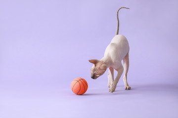 Funny playful Sphynx cat on color background