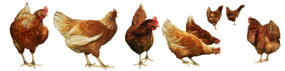 Photo sur Toile Poules Chicken egg breeding Find your own natural food on white background.(with Clipping Path).