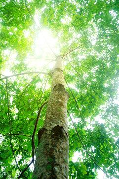 Rubber plantation in Thailand Abundant. Rubber production.