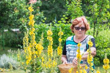 Happy senior woman picking verbascum flower in garden