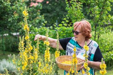 Active senior woman collect verbascum flower for alternative herbal medicine