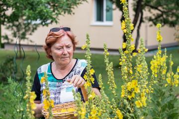 Elderly woman gardening. Picking verbascum flower for herbal medicine