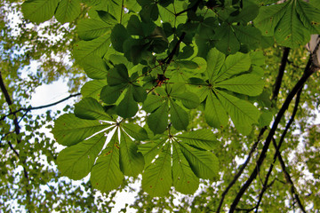 Chestnut leaves against a blue sky.The Golden ring of Russia. Sunny summer day in Yaroslavl. Chestnut leaves against a blue sky.