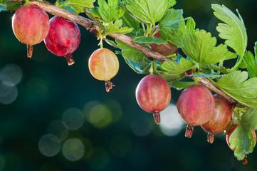 Gooseberry. Fresh organic berries of the gooseberries grow on the branch Fototapete