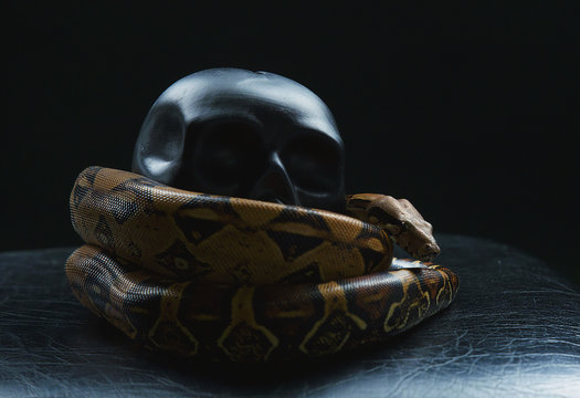 snake wrapped black skull on black background, Python settled and human skull, tongue sticking out