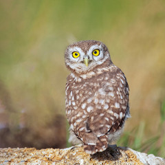 Fototapete - Young Little owl, Athene noctua, stands on a stone with his head turned and looks at the camera