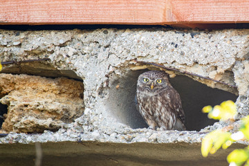 Fototapete - Little owl, Athene noctua, looks out of the hole in the concrete slab