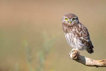 Wall Mural - Young Little owl, Athene noctua, stands on a stick on a beautiful background