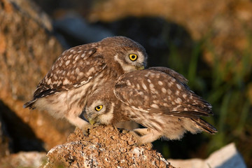Wall Mural - Two young Little owl, Athene noctua, playing on the natural stone