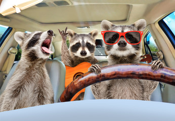 Three funny raccoon with a guitar ride in the car Wall mural