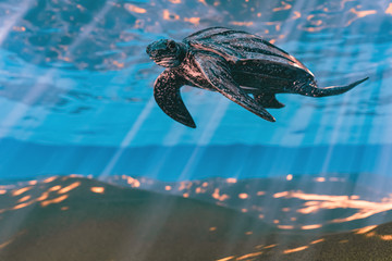 3d rendering of Leatherback sea turtle swimming in the shallow water
