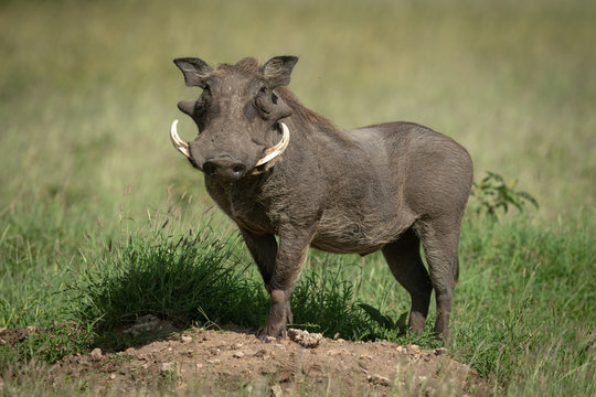 Common warthog stands on mound eyeing camera