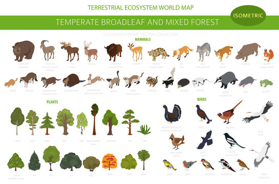 Temperate broadleaf forest and mixed forest biome. Terrestrial ecosystem world map. Animals, birds and plants set. 3d isometric graphic design