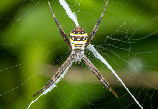 Argiope keyserlingi, the St Andrew's Cross spider, sitting on her web with stabilimentum