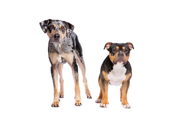 Louisiana Catahoula Leopard dog and an American bully