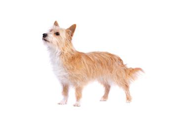 portugese podengo pequeno dog