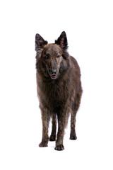 Long-haired Dutch Shepherd