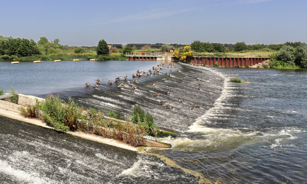 Canada Geese feeding on a weir on the Jubilee River in England