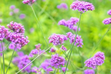 Verbena Bonariensis is a purple flower