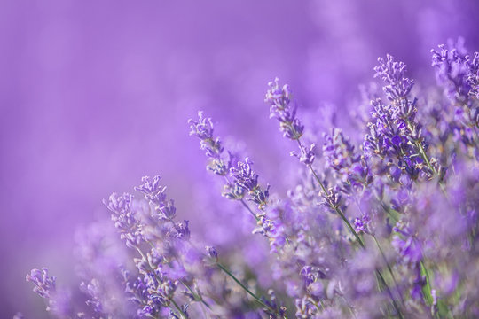 Lavender flowers in a soft focus, pastel colors and blur background