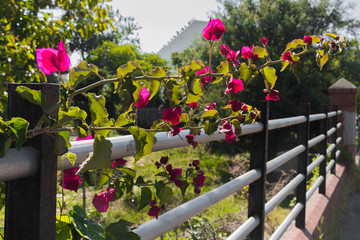 Fence with beautiful climbing plants and pink red lions overgrown in Claremont, Cape Town, South Africa.
