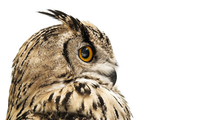 Wall Mural - Head of an adult horned owl in profile isolated on white background.
