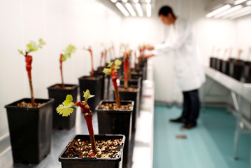 A technician checks vineyards during a test under controlled conditions in the laboratory of Agrauxine in Beaucouze near Angers