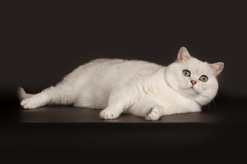 Adorable British breed white cat with magical green eyes lying on isolated black background Wall mural