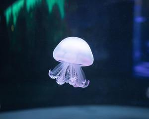 Fototapete - jellyfish rhizostoma pulmo underwater