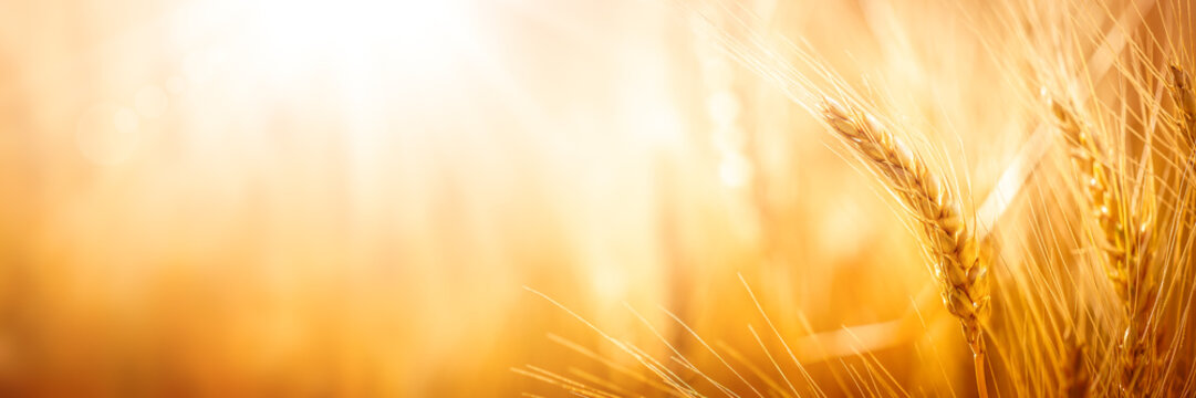 Close-up Of Ripe Golden Wheat With Sunlight - Harvest Time Concept