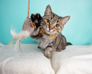 Spoed Fotobehang Kat Cute young adult short hair rescue cat playing with a cat toy and wearing a bow tie